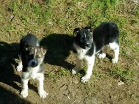 Akita cross German Shepherd puppies