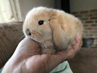 Baby Lop Bunnies