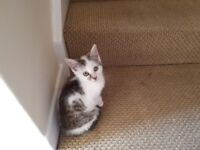 Tabby and white kitten for sale