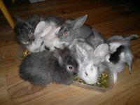 Beautiful super soft friendly bunnies