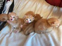 Gorgeous ginger kittens