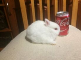 Netherland Dwarf rabbit babies 8 weeks old pure white