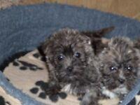 Lhasa x Westie Pups for Sale