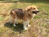 5 year old spayed female collie cross dog for sale