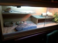 female bearded dragon 18mths very tame with all equipment selling due 2 new job wil b away alot£100