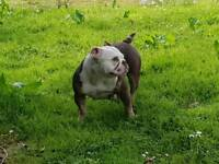 Old English Bulldog female