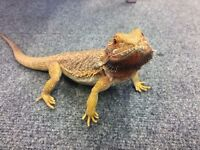 Perfect Adult Female Bearded Dragon For Sale