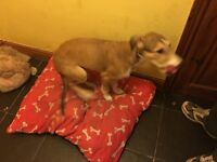4 month old lurcher with xl dog crate
