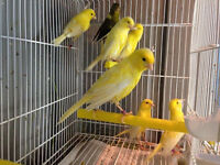 Irish fancy canaries for sale and fifes