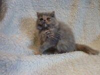 Beautiful Full Persian Blue/Cream Female Kitten