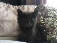 Grey fluffy kittens