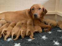 Fox red Labrador puppies (4girls available)