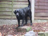 LABRADOR FEMALE BLACK KC REGISTERED EXCELLENT PEDIGREE MANY CHAMPIONS IN LINEAGE AGED 2 YEARS