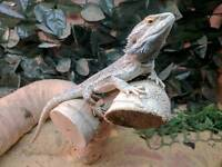 Male bearded dragon - Haverfordwest