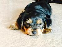 Yorkshire Terrier Puppies - Only 1 Boy and 1 Girl Left