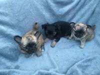 KC reg long coat Chihuahua puppies for sale