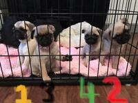 READY TO GO! Pug Puppies