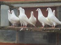 White Logan pigeons