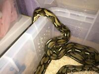 Tiger Reticulated python