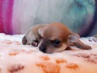 2 beautiful chihuahua puppies for sale
