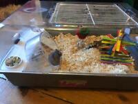 Dwarf Hamster - For Sale FREE