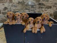 Stunning Fox Red Labrador Puppies