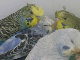 Baby Crested Budgies
