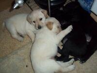 4 Cute Irish Terrier cross pups