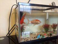 2 gold fish with fish tank