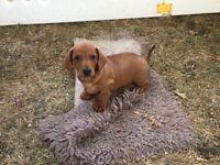Gorgeous standard dachshund girls available KC registered