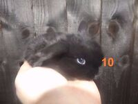 Baby Rabbits for Sale - Yorkshire Dwarf - some blue eyes