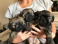 GIRL SHIH TZU PUPPIES