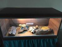 Bearded dragon & vivarium set up
