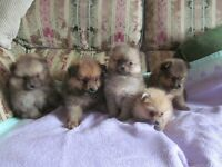 pomeranian pups males and females
