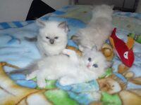 4 Beautiful Ragdoll Kittens ready to reserve (just one kitten left )