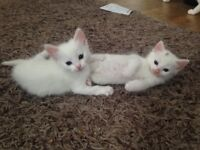 2 almost pure white long hair fluffy kittens left from a litter of 4.