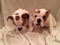 Two Kc English Bulldog puppies