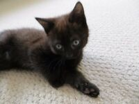 one black male kitten for sale (11 weeks)