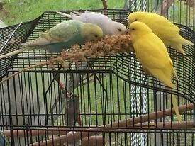 Baby Budgies for £15.00