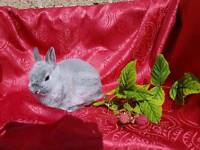 13wk Chinchilla Netherland Dwarf Buck