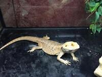 Two year old bearded dragon