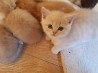 BSH X kittens READY NOW