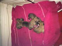 AKC and CKC registered Shiba Inu puppies