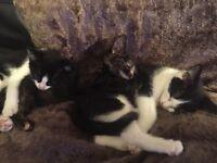 3 Kittens 9 weeks old £30 each