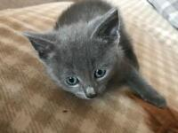 8 Week old * Grey Kitten