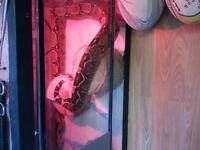 trading 8ft redtail boa for hatchling/baby boa