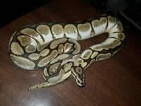rare female phantom spider calico royal python / snake