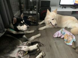 10 husky/gsd puppy for sale