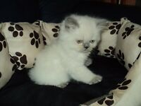 british shorthair male kitten