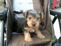 adorable teacup yorkshire terrier puppy boy 8 weeks old
